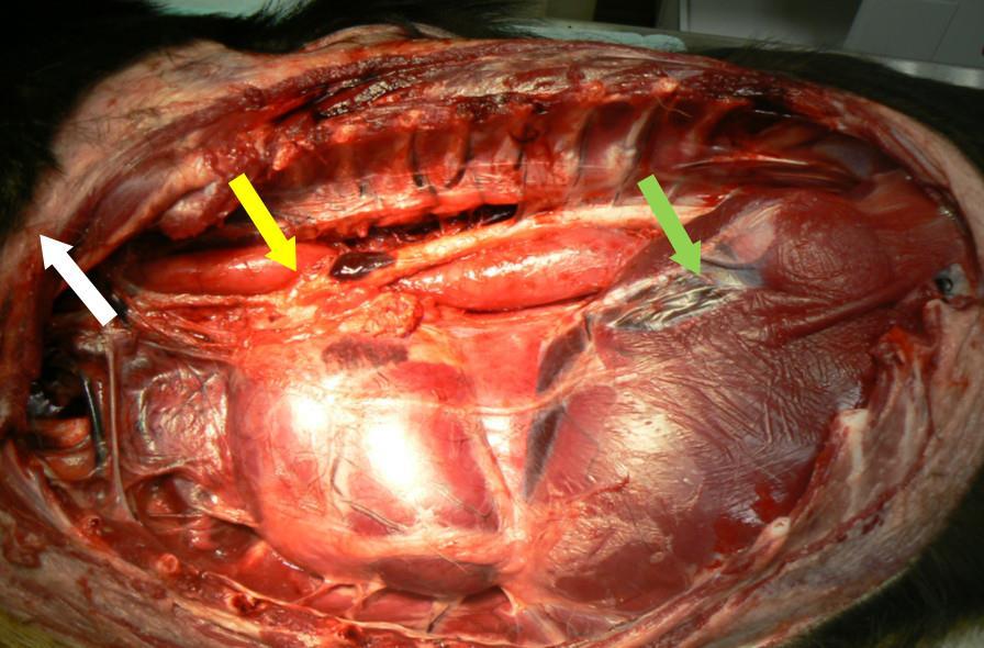 Pièce anatomique montrant les différentes zones plus étroites sur le passage de l'œsophage en portion thoraciqu