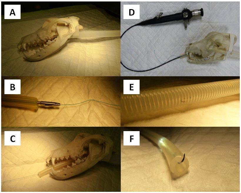 Les étapes de l'extraction d'un hameçon planté dans l'œsophage d'un chien